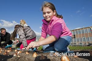 Foto Haarlemse tulp bijde Buitenrustbrug de grond in