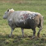 Gewonde schapen aan de Vondelweg