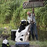 Koe in de put op de Slaperdijkweg