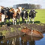 Koe zoekt verkoeling in de sloot aan de Vinkebrug in Halfweg